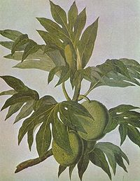 Breadfruit drawing.jpg