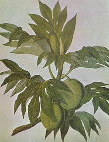 Drawing of breadfruit