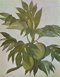Breadfruit drawing.jpg