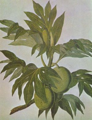 Breadfruit - Drawing of breadfruit by John Frederick Miller
