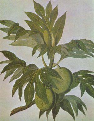 Breadfruit - Drawing of breadfruit by John Frederick Miller