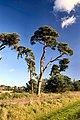 Breckland pine - geograph.org.uk - 276080.jpg