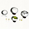 Bresadola - Bovista plumbea.png