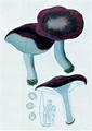 Bresadola - Russula depallens.png