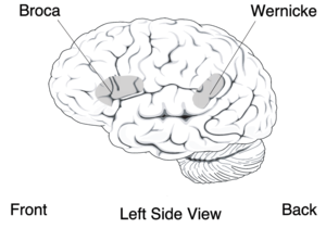 Cognitive psychology - Broca's and Wernicke's areas of the brain, which are critical in language