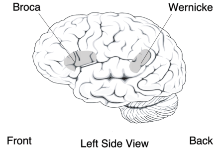 Broca's and Wernicke's areas of the brain, which are critical in language BrocasAreaSmall.png