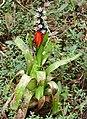Bromeliad (Aechmea mertensii) (39088862285).jpg