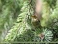 Brooks's Leaf Warbler (Phylloscopus subviridis) (42715265745).jpg