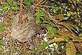 Brown-throated sloth (Bradypus variegatus) female.jpg