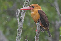 Brown-winged Kingfisher Sundarbans West Bengal India 01.01.2015.jpg