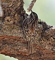 Brown Creeper (albescens-alticola) (33780221462).jpg