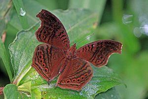 Junonia stygia - In Uganda