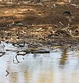 Brown snake and wagtail 1 (8022442418).jpg