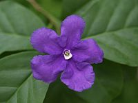 Brunfelsia pauciflora1C2000