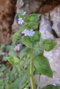 Brunnera orientalis 1.jpg