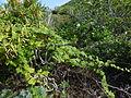Bryonia verrucosa 0600.jpg