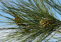 Buds of Turkish pine 01.jpg