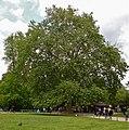 Buffplatree1.jpg
