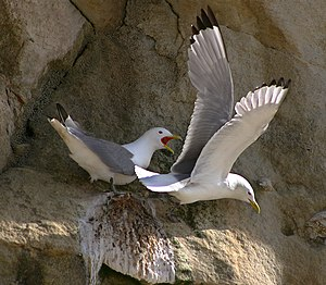 Black-legged Kittiwake (Rissa tridactyla) at Bulbjerg, Denmark