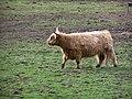Bull, Kingussie - geograph.org.uk - 1288044.jpg