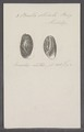 Bulla striata - - Print - Iconographia Zoologica - Special Collections University of Amsterdam - UBAINV0274 091 07 0009.tif