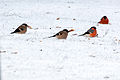 Bullfinch(js) Lodz(Poland)02.jpg