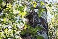Buntspecht Dendrocopos major Nationalpark Donau-Auen Lobau Mai 2016 07.jpg