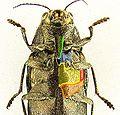 Buprestis novemmaculata detail.JPG