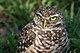 Burrowing Owl 4212.jpg