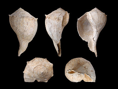 Busycon contrarium, Buccinidae, Lightning Whelk; Length 24 cm; Tertiary, Pliocene, La Belle, Florida, USA.