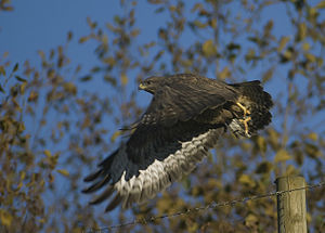 Buteo buteo -Wicklow, Ireland-8.jpg