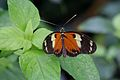 Butterfly at Chester Zoo 05.jpg