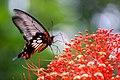 Butterfly at Pangsidanational park.jpg