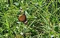Butterfly taking nector from flower.JPG