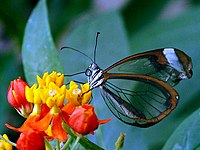 A butterfly with transparent wings. The body can clearly be seen through the wings