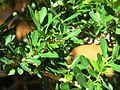 Buxus harlandii (bonsai) leaves.jpg