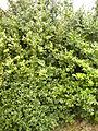 Buxus sempervirensHabitusIsaba2015.jpg