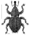 COLE Curculionidae Microcryptorhynchus setifer.png