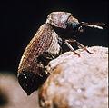 CSIRO ScienceImage 1057 Wood Borer Beetle Anobium punctatum.jpg