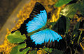 CSIRO ScienceImage 3831 Ulysses Butterfly.jpg