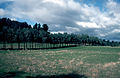 CSIRO ScienceImage 613 Trees Planted to Improve Salinity Problems.jpg