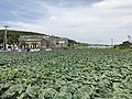 Cabbage field in front of Nishi-Oyama Station.jpg