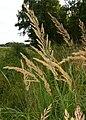 CalamagrostisEpigejos2.jpg