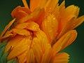 Calendula Bud With Raindrops (929153061).jpg
