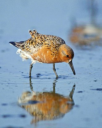 Calidrid - Red knot, Calidris canutus. Calidris s.str. are stout birds with bold pattern in breeding plumage
