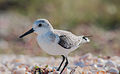 Calidris alba on Margarita island 4.jpg