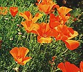 California Poppies.jpg