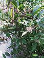 Callicarpa cathayana inflorescence.jpg