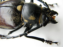 Callipogon relictus female closeup.JPG