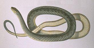 Philodryas - Philodryas patagoniensis